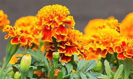 marigolds image 2018